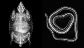 Röntgengépbe tették a londoni állatkert lakóit