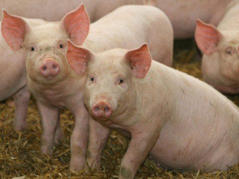 Újabb 26 ezer állatot ölnek le a sertéspestis miatt