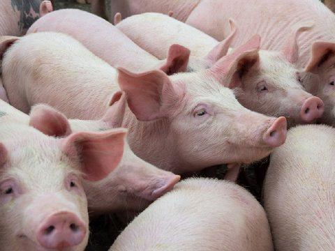 Már több mint 365 ezer disznót pusztítottak el a sertéspestis miatt