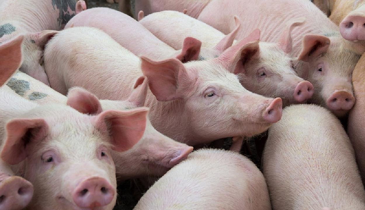 Több mint 1100 sertéspestis-góc van az országban
