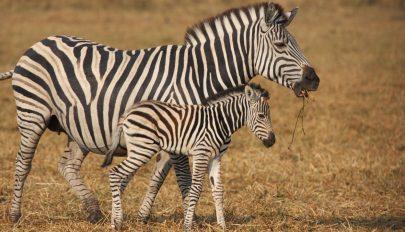 Kiderült, mire szolgálhatnak a zebrák csíkjai