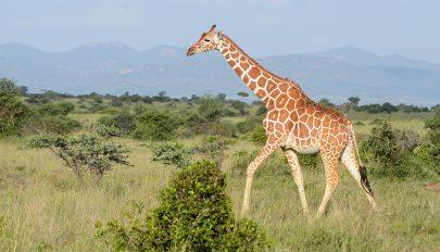 Élő villámhárítóvá változott a viharban két zsiráf