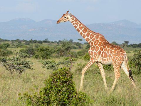 Kihalás fenyegeti a zsiráfokat