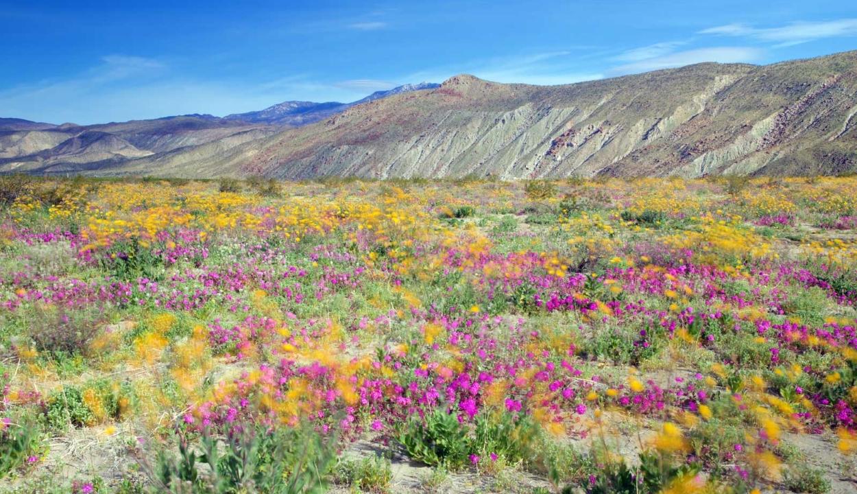 Virágba borult egy kaliforniai sivatag