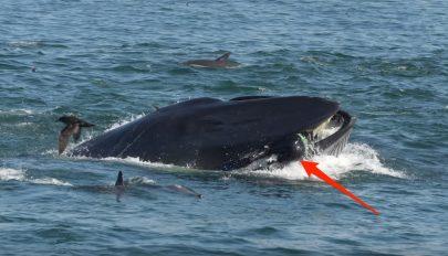 Kis híján felfalta a búvárt a bálna