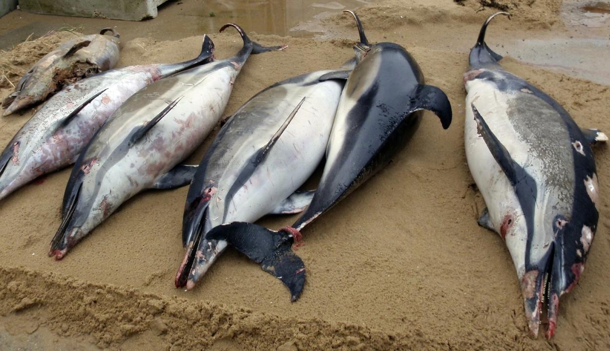 Soha ennyi delfintetemet nem vetett még partra a víz Franciaországban