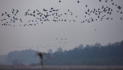 Vészesen csökken a madárpopuláció Európában