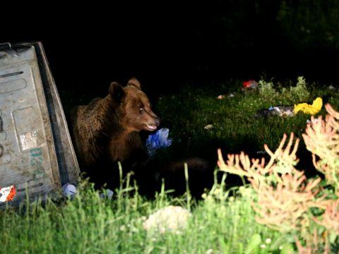 Elővigyázatosságra intenek a Sepsiszentgyörgy környékén bóklászó medvék miatt