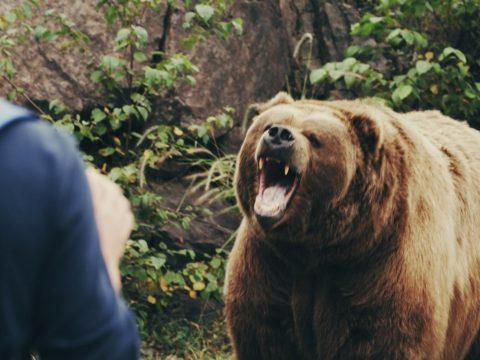 Két medvetámadás is történt a hétvégén, egy férfi belehalt sérüléseibe