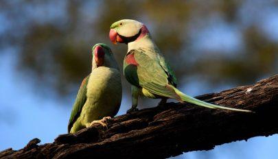 Drogfüggő papagájok pusztítják a máktermést Indiában