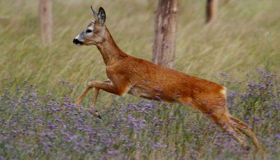 Több tucat őzet, szarvast és más vadállatot mérgeztek meg Arad megyében