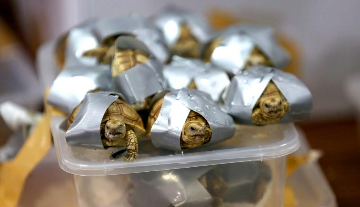 Több mint 1500, ragasztószalaggal körbetekert teknőst foglaltak le Manilában