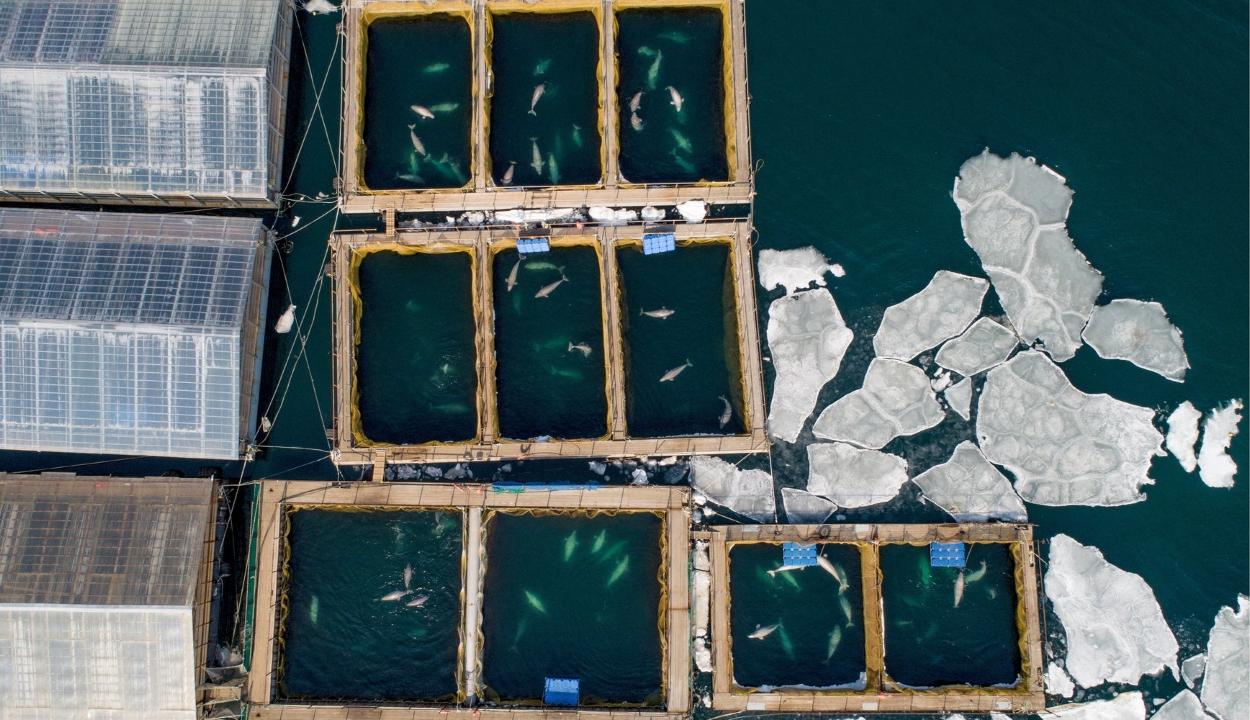 """Az összes delfint szabadon engedik az orosz """"cetbörtönből"""""""
