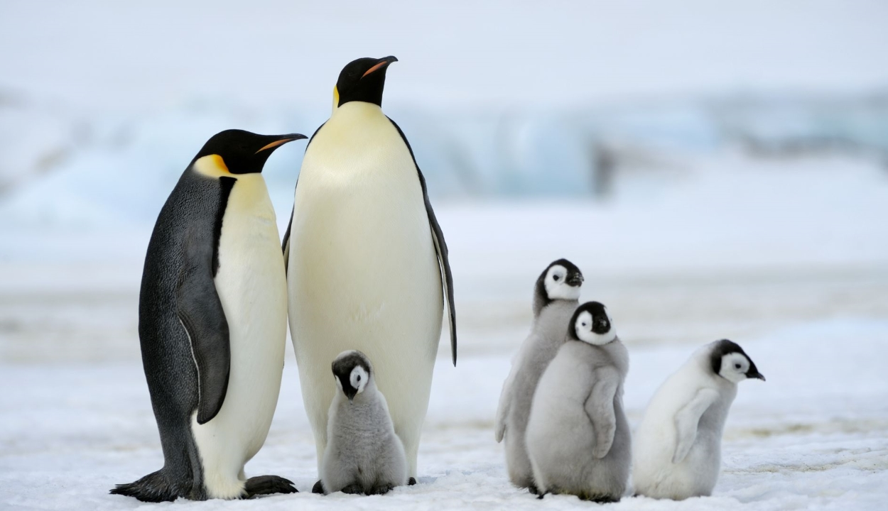 Kihalhat a császárpingvin az évszázad végére