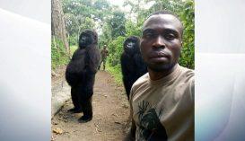 Szelfihez pózolt a két gorilla