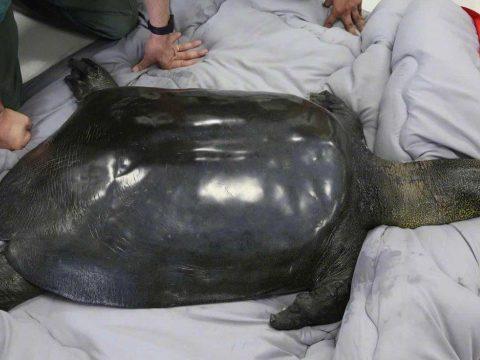 Elpusztult a világ egyik legritkább teknősfajának utolsó ismert nősténye