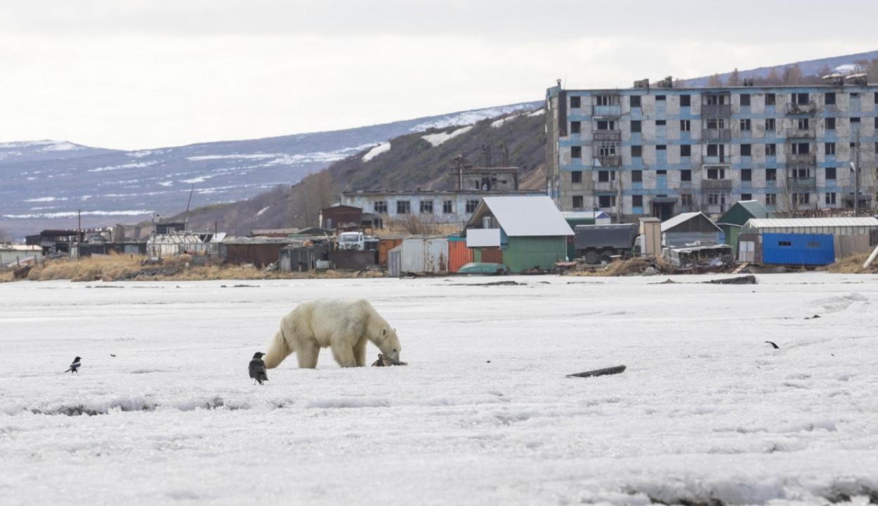Elkóborolt jegesmedve keltett riadalmat Oroszországban