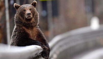 """Medve """"pózolt"""" egy fotóriporternek Ozsdola közelében"""