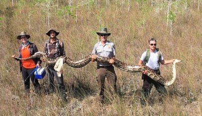 Rekordméretű pitont fogtak el Floridában