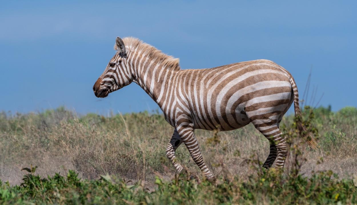 Rendkívül ritka, szőke zebrát fotóztak
