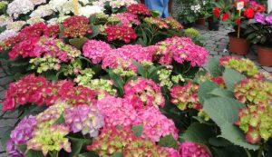 3.Hortenziaszőnyeg a Dália kertészet standján – hát nem gyönyörű? De a vásárlók szerint a leggyönyörűbb, ami innen hiányzik (mert elfogyott): a kék hortenzia