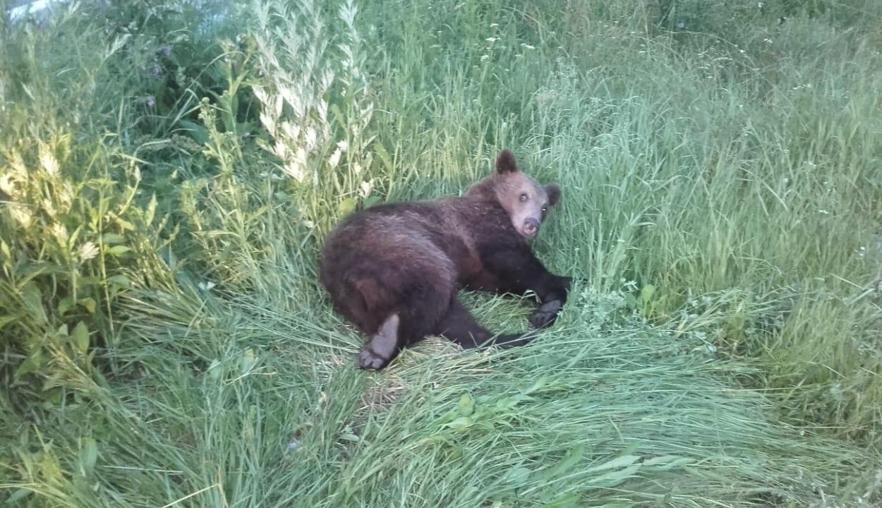 Elütöttek egy medvét Brassó mellett, a sérült állatot a zernyesti rezervátumba szállítják