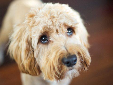 Megfejtették a kutyák szomorú tekintetének titkát