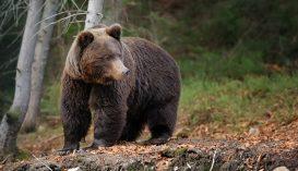 Négy medve tört be egy bálványosi szállodába