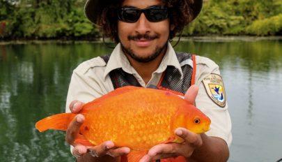 35 centis aranyhalat fogtak az Egyesült Államokban