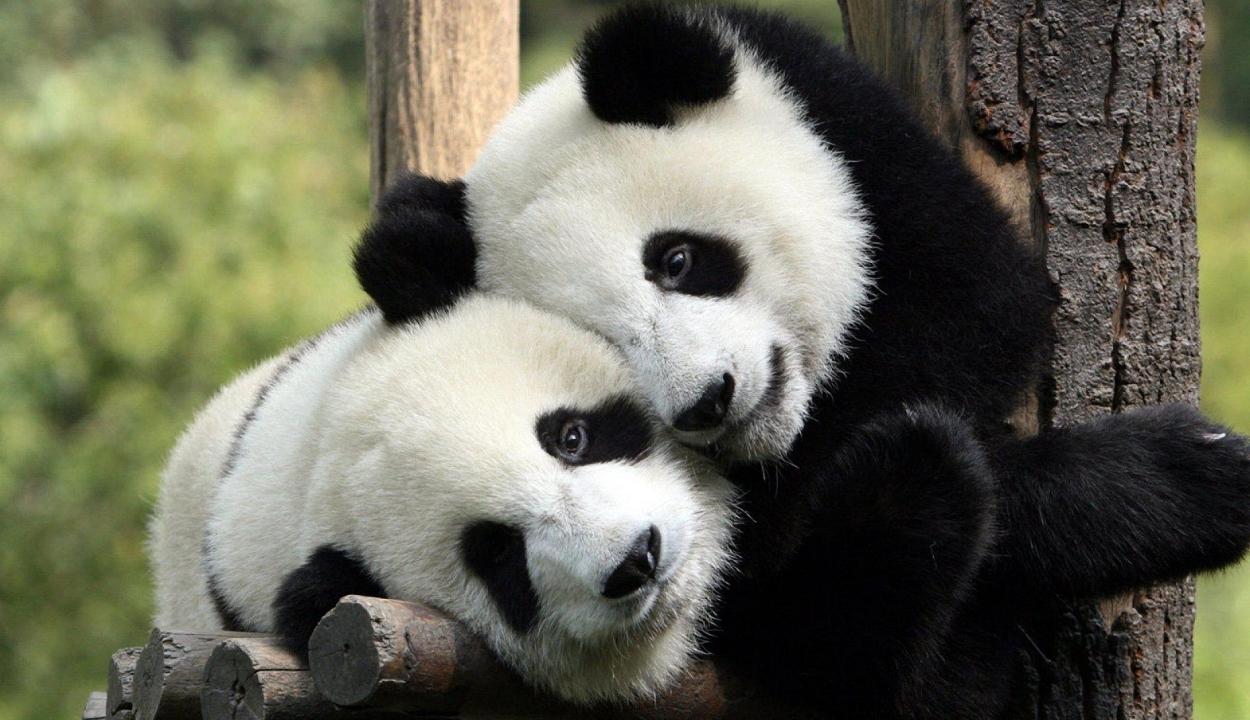 Megszületett a világ legkisebb pandabébije