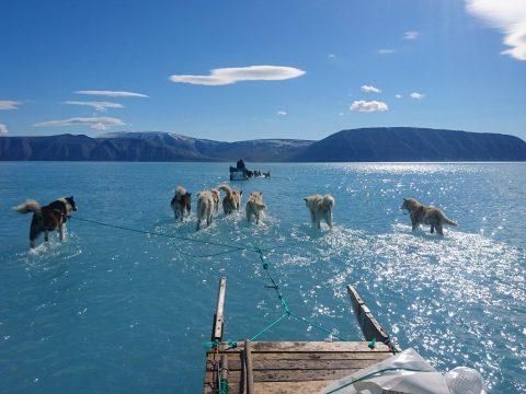 Vízben gázolnak a szánhúzó kutyák Grönlandon
