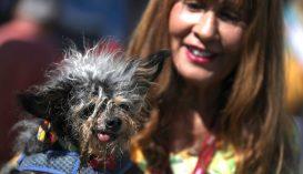 Megválasztották a világ legrondább kutyáját