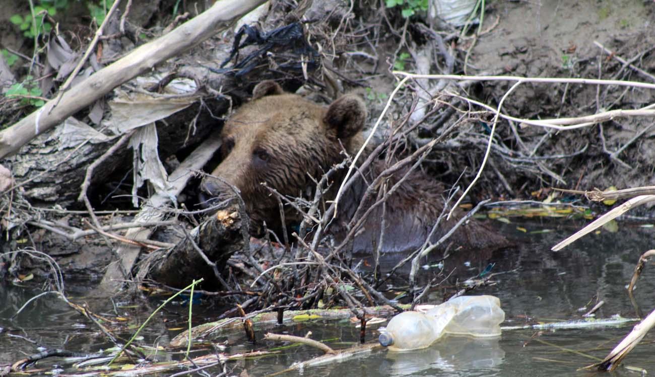 Sérült medve az Olt vizében