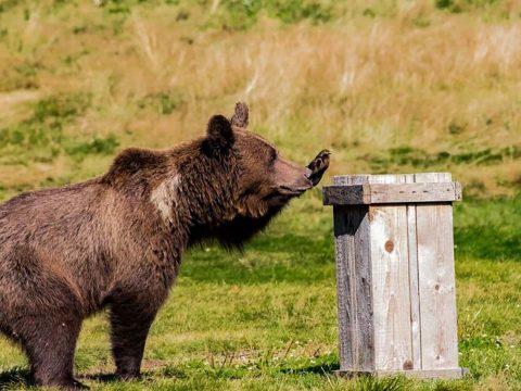 Megbírságolják azokat, akik etetik a medvéket