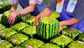 Már kocka alakú görögdinnyét is lehet vásárolni Japánban