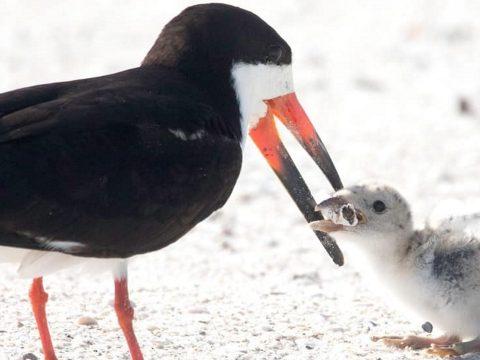 Fiókáját csikkel etető madarat fényképeztek egy floridai tengerparton