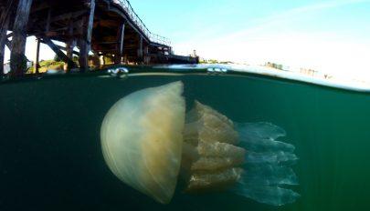 Emberméretű medúzát fedeztek fel búvárok az angol partoknál
