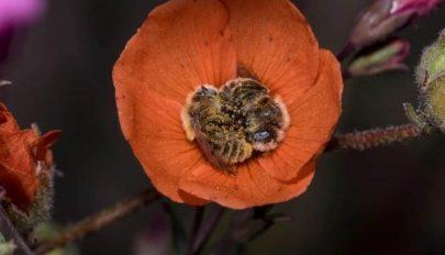 Létezik egy méhfaj, akik virágokban szeretnek aludni