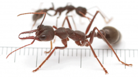 12 élő óriáshangyát küldött valaki postán Ausztráliából Kínába