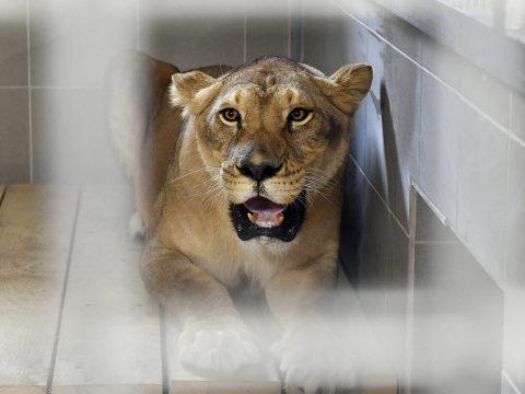 Veresegyházon találtak otthonra a romániai cirkuszi oroszlánok