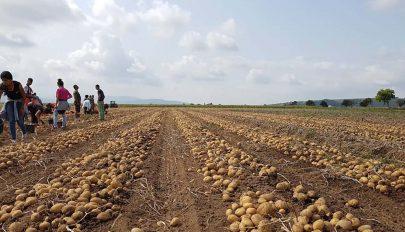 Több mint kétmillió tonna burgonya termett 2020-ban Romániában