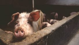 350 sertéspestisgócot tartanak nyilván az országban