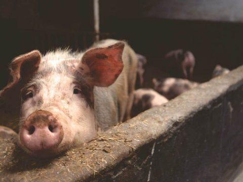 Az Európai Bizottság nem tiltotta meg a román sertéshúsexportot az afrikai sertéspestis miatt