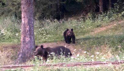 Fényes nappal pózolt a medve