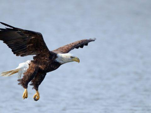 Az amerikai kormányzat lazít a veszélyeztetett fajok védelmén