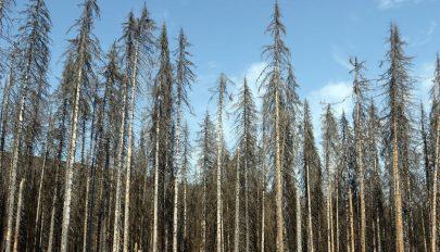 Több mint százezer hektár erdő pusztult ki Németországban tavaly óta