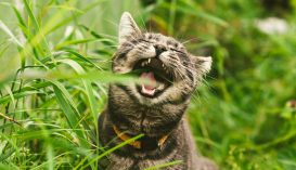 Kiderült, miért esznek valójában a macskák füvet