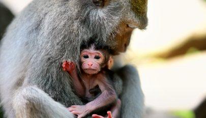Ember-majom hibridet hoztak létre Kínában