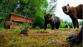 Medvék garázdálkodnak