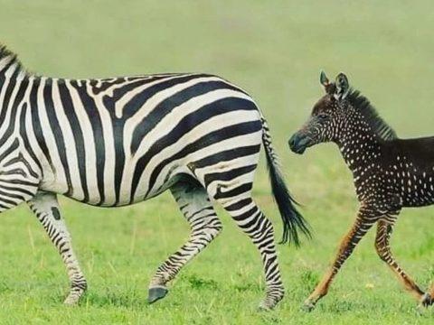 Különleges zebracsikót fotóztak